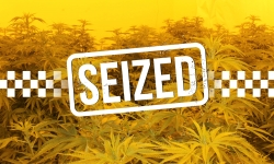 Cannabis plants seized.