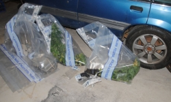 Cannabis plants, illicit human growth hormones, an imitation firearm and a conducted energy weapon in plastic evidence bags